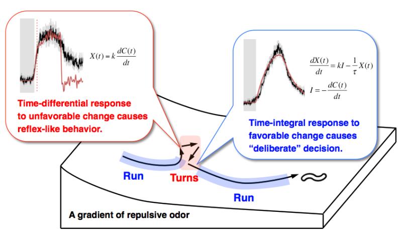 Calcium dynamics regulating the timing of decision-making in C. elegans