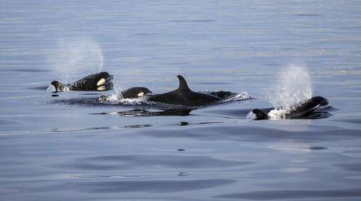 California whale watchers see rare orcas, including calf