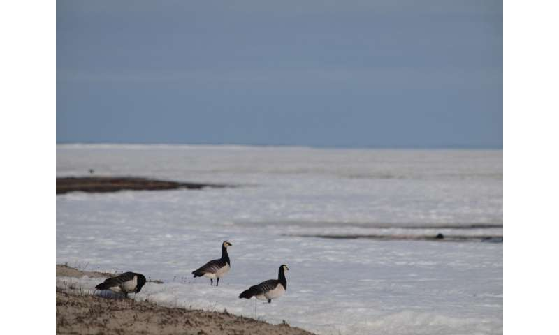 Can barnacle geese predict the climate?