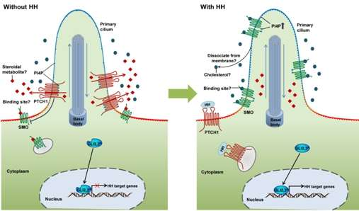 CAS scientists review the basic and translational studies of hedgehog signaling