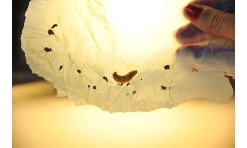 Caterpillar found to eat shopping bags, suggesting biodegradable solution to plastic pollution