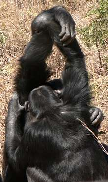 Chimps' cultural traditions extend beyond family