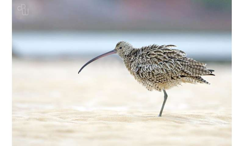 Citizen scientists help identify shorebird extinction threat