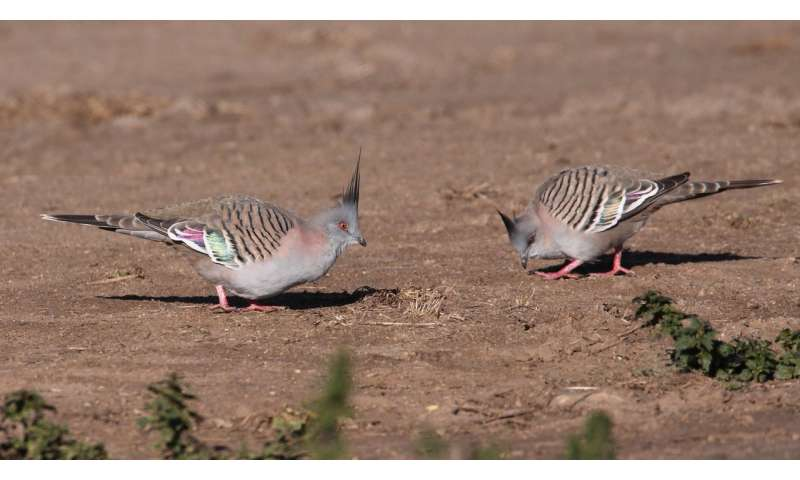 Crested pigeons use feathers to sound the alarm