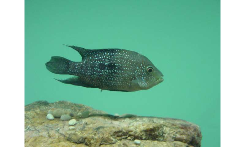 CWRU researcher finds fish uses sneaking behavior as stealth mating strategy