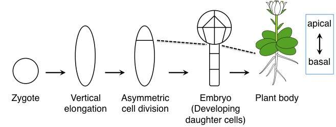 Discovery of parental factors that lead to asymmetric division of the zygote
