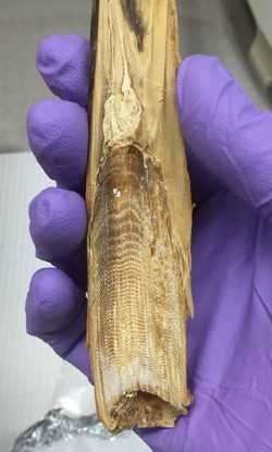 Earwax like ice cores—unlocking the past hidden in whale earplugs