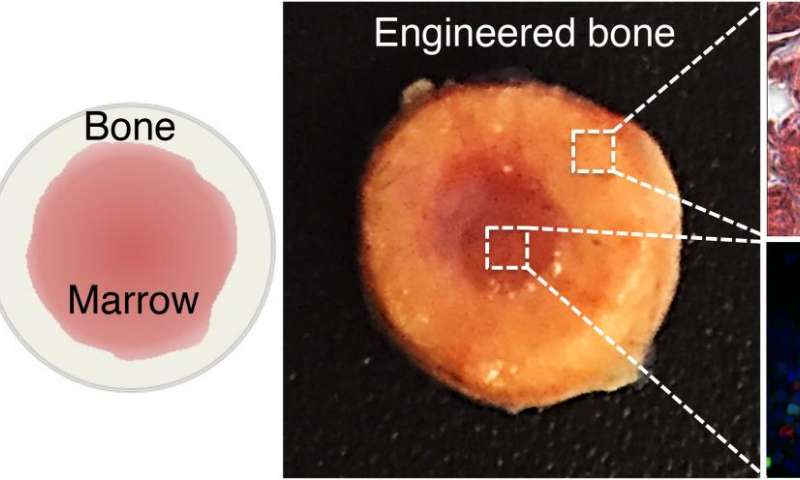 Engineered bone marrow could make transplants safer