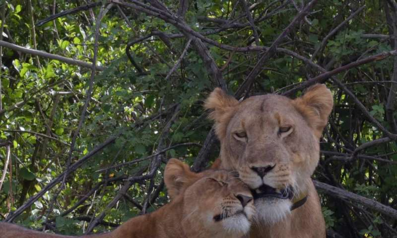 tree climbing lions of uganda roaming farther as prey animals decrease a lion cub nuzzling its mother credit a plumptre wcs