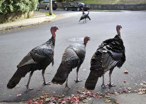 Feathered foes: Resurgent turkeys clash with human neighbors