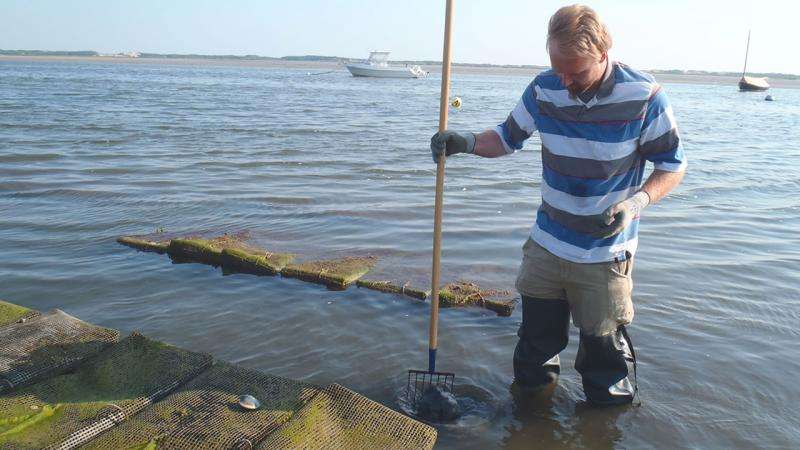First measurement of nitrogen removal by local shellfish