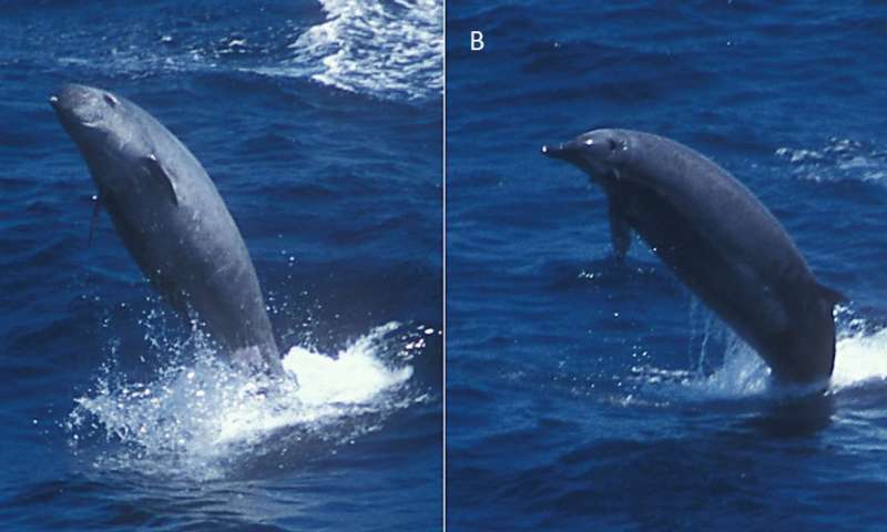 First underwater video footage of the True's beaked whale