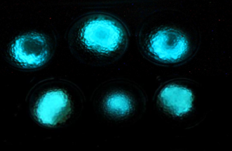 Glowing bacteria detect buried landmines