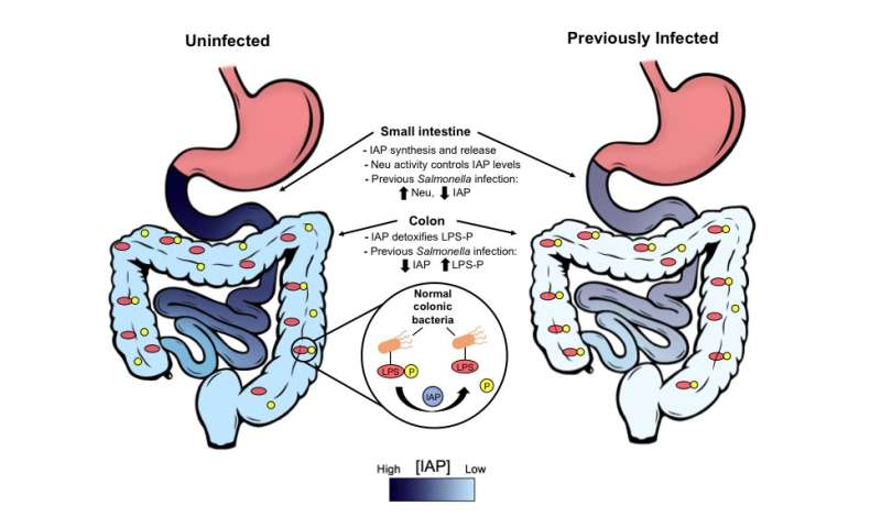 Gut reaction: Repeated food poisoning triggers chronic disease