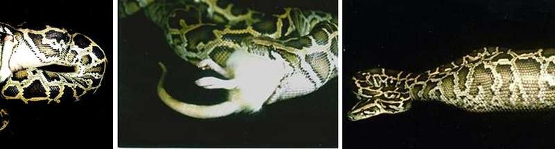 How pythons regenerate their organs and other secrets of the snake genome