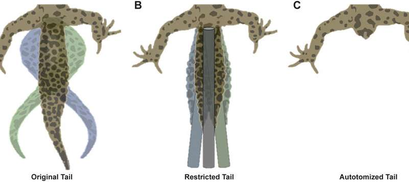 How tails help geckos and other vertebrates make great strides