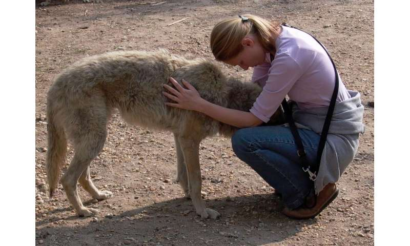 Human reared wolves found to display signs of attachment and affection towards foster-parents