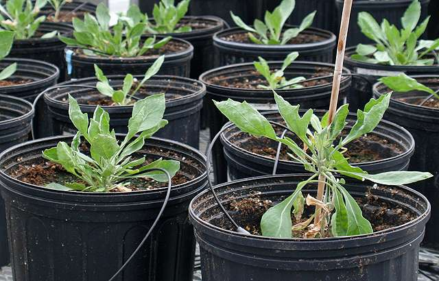 Improved variety of guayule plant as a natural source of tire rubber