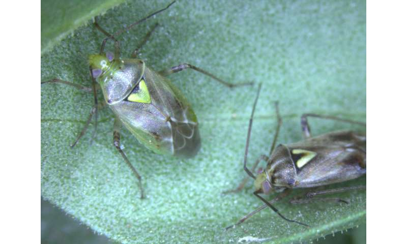 Insect 'anti-antiaphrodisiac' tells males when females are ready to mate