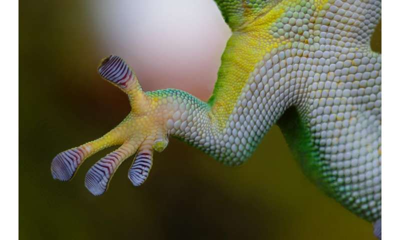 Inspired by geckos, researchers engineer soft gripping system that outperforms current adhesion methods