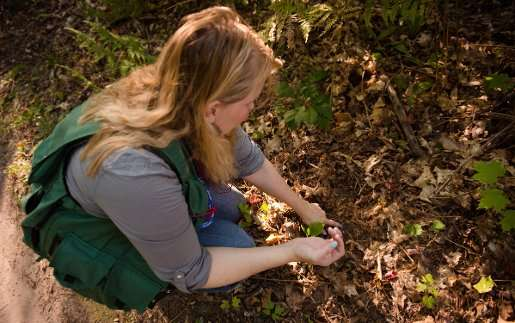 Invasive earthworms at the root of sugar maple decline