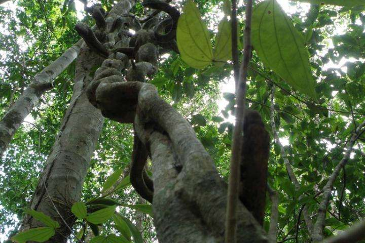 Lianas stifle tree fruit and seed production in tropical forests