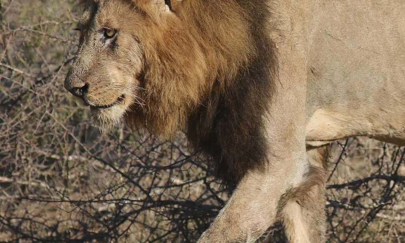 Lion conservation requires effective international cooperation