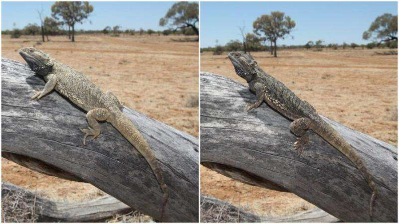 Lizards keep it local when it comes to colour change