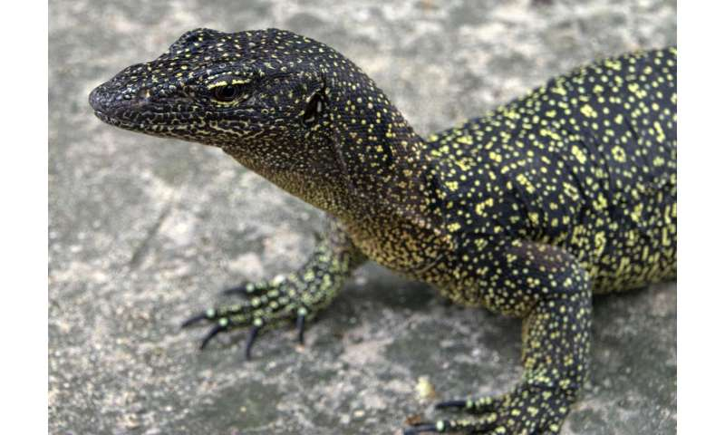 Long lost monitor lizard 're-discovered' on Papua New Guinean island