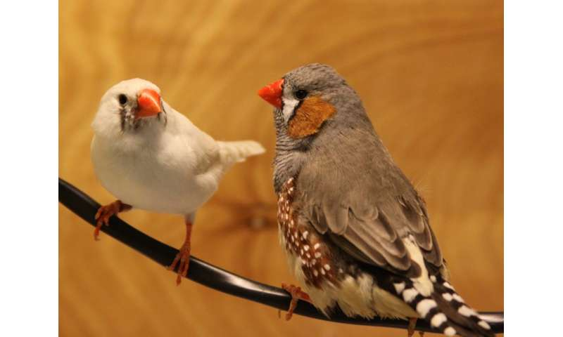 Lost in translation: To the untrained zebra finch ear, jazzy courtship songs fall flat