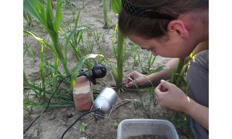 Maize pest exploits plant defense compounds to protect itself