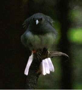 Male birds adjust courtship behavior based on social context