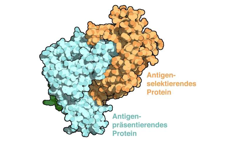 Mechanism for precise targeting of the immune response uncovered