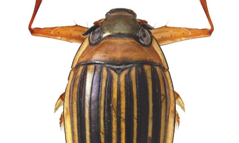Meet Madagascar's oldest animal lineage, a whirligig beetle with 206-million-year-old origins