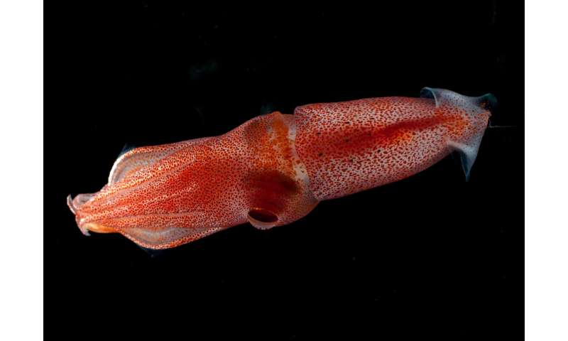 Mismatched eyes help squid survive ocean's twilight zone