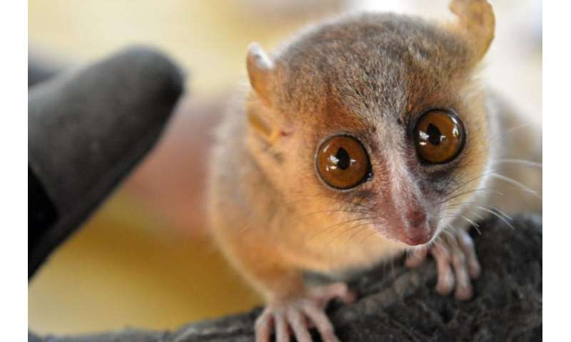 Mouse lemurs may provide insight into human behaviour and well-being