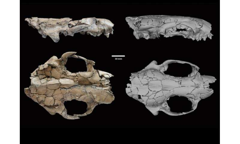 New ancient otter species among largest ever found