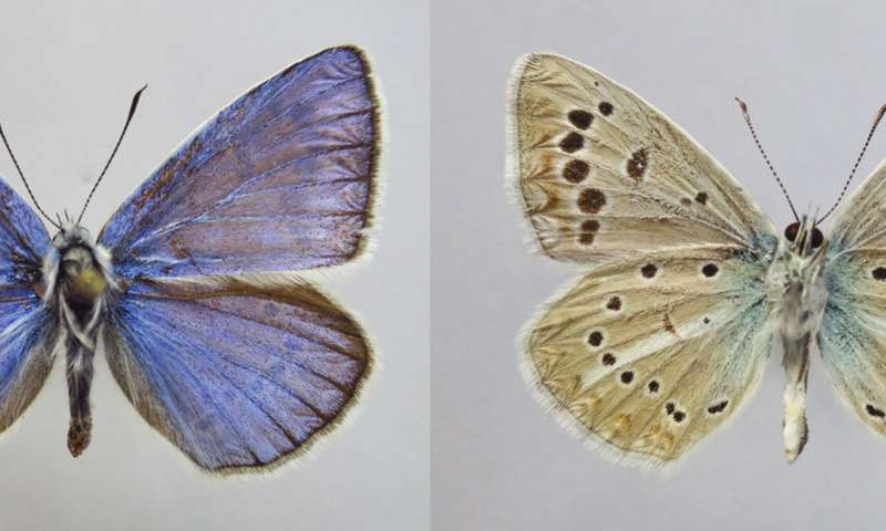 New butterfly species discovered in Russia with an unusual set of 46 chromosomes