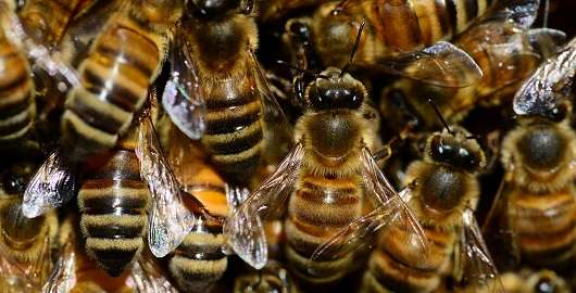 Honey Bees: Home Is Where the Hive Is