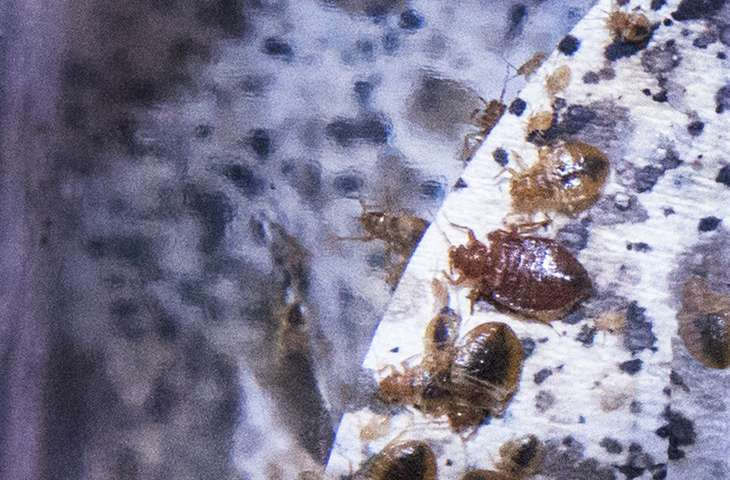 New research may beat back bedbug epidemic