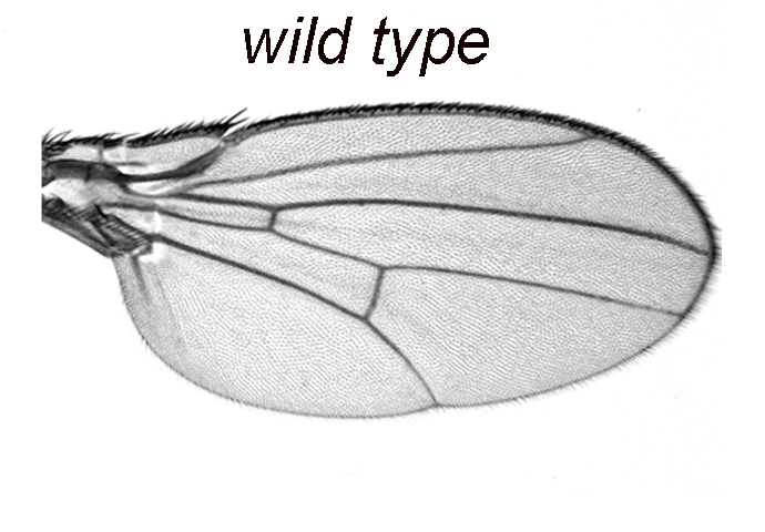 New signal involved in limb growth found in flies