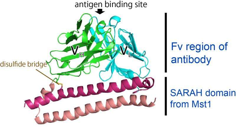 Novel small antibody fragment—a valuable tool in crystallography