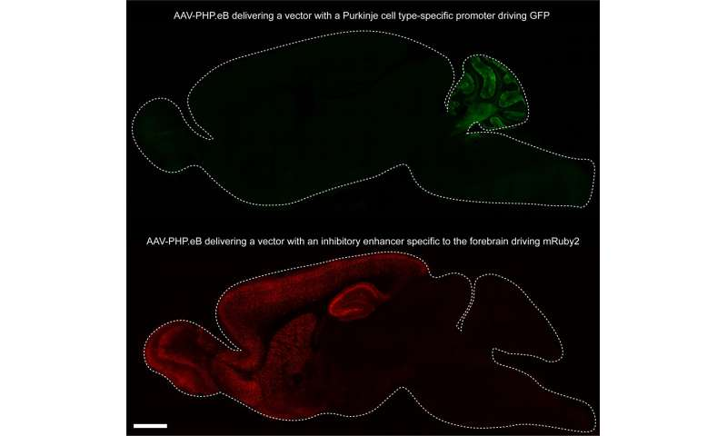 Novel viral vectors deliver useful cargo to neurons throughout the brain and body