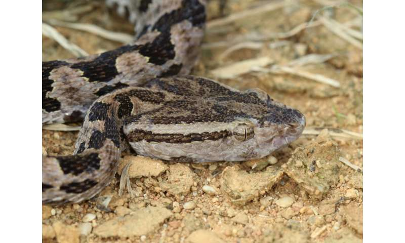 Okinawan pit viper genome reveals evolution of snake venom
