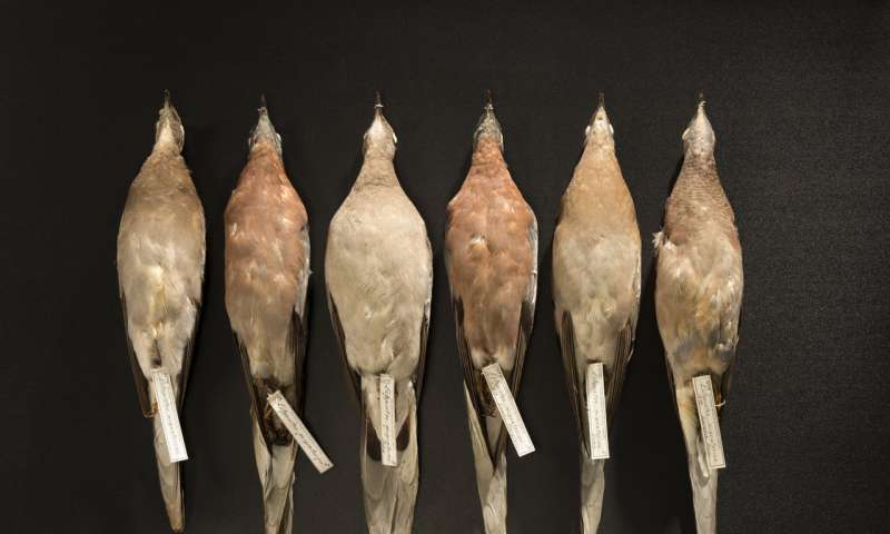Passenger pigeon genome shows effects of natural selection in a huge population