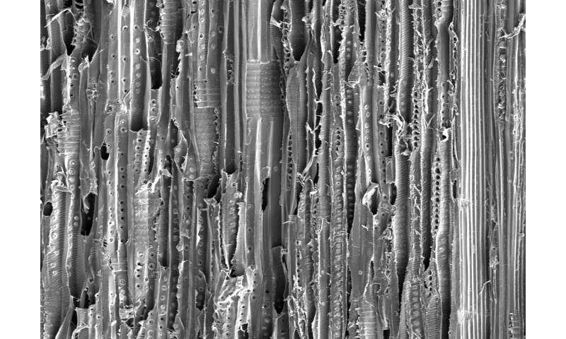 Pine and poplar wood improve sunlight-driven water purification