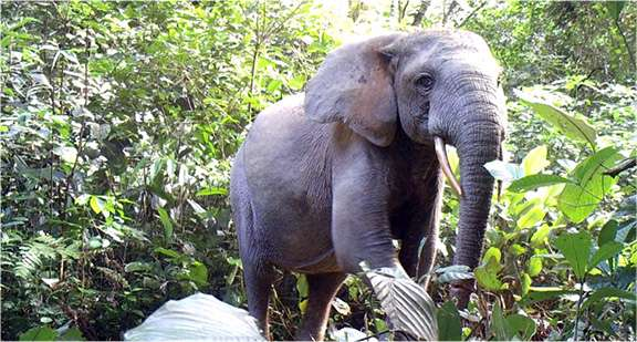 Poaching drives 80 percent decline in elephants in key preserve