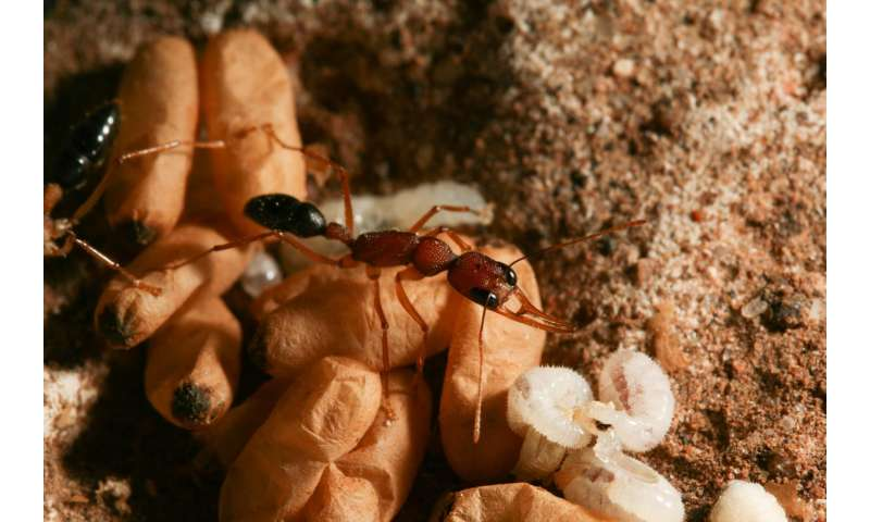 'Princess pheromone' tells ants which larvae are destined to be queens