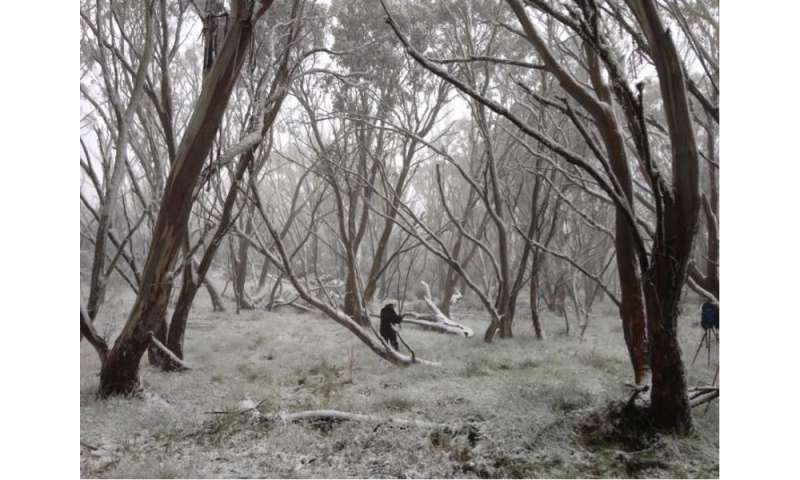 Recurring fires are threatening the iconic snow gum