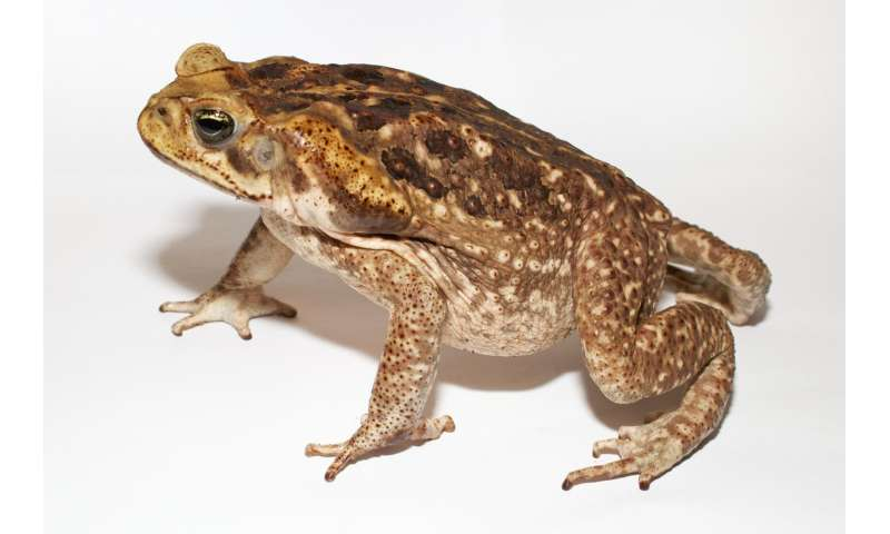 Researchers list reasons not to lick a toad